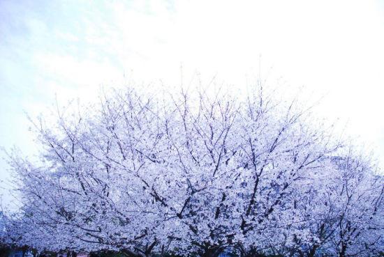 在江西省的高校校园里,可以观赏樱花的,农大最出名。但是南昌大学前湖校区内也有座樱花谷,里面有数百株樱花树。此外在江西师大瑶湖校区内,也有不少樱花树,主要分布在学校大门及部分教学楼、场馆周边。闲下来的时候,不妨去这些校园走走吧!感受下久违的校园气息,闻一闻樱花的香气,相信你会收获别样的感受哦!   路线:   公交车:在南昌市青山路口站坐240路公交车直达。   自驾:   南昌:从起点到世贸路文化大道秦岚大道到终点江西农业大学   九江:从起点到福银高速公路福银高速公路南昌绕城高速
