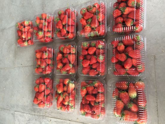 从重庆主城驱车到洼地生态农庄仅需要1个多小时,距离主城区40余公里。青山、溪水、洼地里菜园和温室大棚在眼前展开,伴着农家寥寥炊烟,好一派田园风光。只要采摘满5斤草莓就不需要入园门票,直接提上篮筐就可以钻进大棚里摘草莓了。采摘园里一大片油菜花开得特别漂亮,亮黄的花海里十几个草莓大棚顺路排开。 草莓园全景