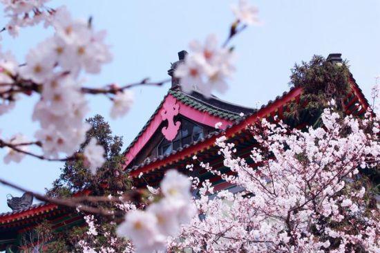 鸡鸣寺樱花,作者@开花的树Jenny