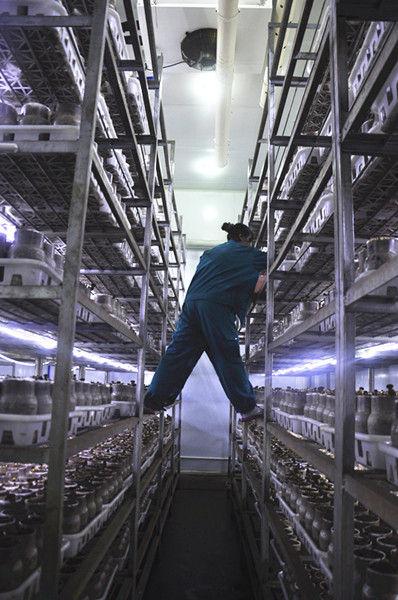 牛肝菌温室培育