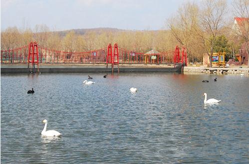 新浪旅游配图:天鹅在湖面上游 图片来源:网络