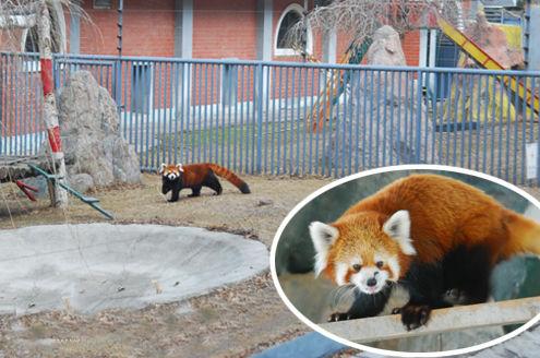 新浪旅游配图:小熊猫出来晒太阳 图片来源:网络