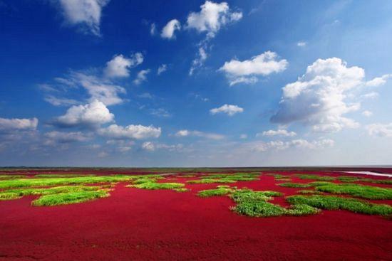 构成红海滩的碱蓬草