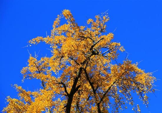 春天银杏树简笔画图片大全