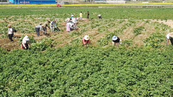 双江自治县群众正在收获马铃薯