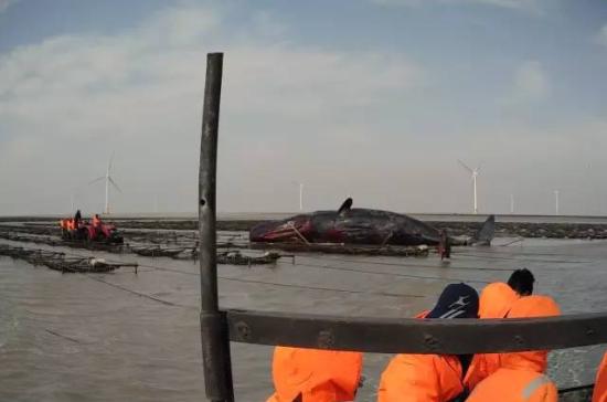 两头抹香鲸搁浅 生命奥秘博物馆参与救援