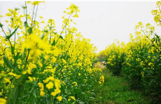 南岸广阳岛的油菜花开了!还不去赏花吗?