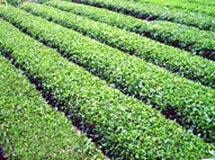 峡州翠绿茶