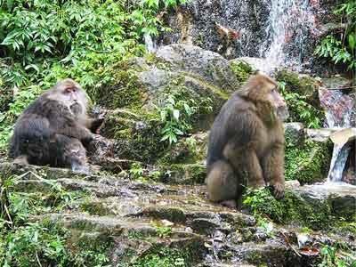 观赏峨眉山灵猴的生态猴区
