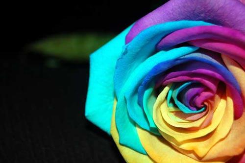 情人节玫瑰的传说(图)