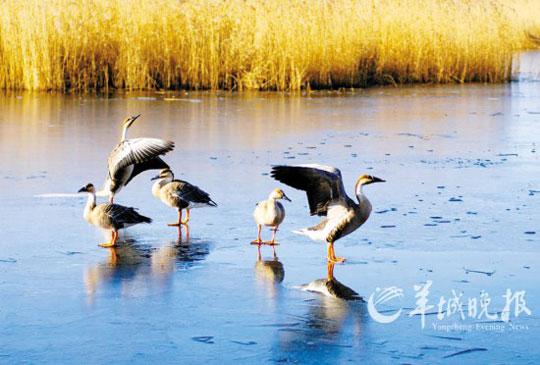 阳春三月,万物复苏。在天气逐渐转暖的北国黑龙江,生息在这里的一支庞大的丹顶鹤种群亦越发活力倍增。中国的古老物种丹顶鹤,原本是迁徙鸟类,近几十年经人工繁育、驯化,夏季繁育后,秋季渐渐不再南迁,喜雪耐寒,越冷越欢,年复一年,成为北国雪后一道壮美的自然景观。如果你要来丹顶鹤的故乡齐齐哈尔,最好选择在3月中下旬,天气不再寒冷,洁白的仙鹤伴着春雪尽情地在蓝天中舞动。加之一大群一大群从遥远的南方飘然而至的丹顶鹤,一起上演了百鹤竞空争春至的绝美画面。   迎候春天的丹顶鹤   鸟中之王丹顶鹤属于鸟纲鹤科,又名仙鹤