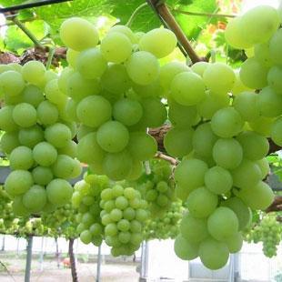 吐鲁番:水果的天堂