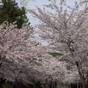 折纸花步骤大全图解樱花
