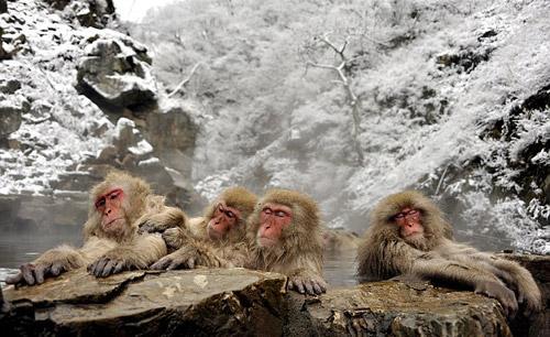 几只雪猴双手扶着岩石,脸部表情如痴如醉