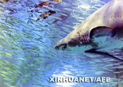 一条沙虎鲨在沙丁鱼群中游弋