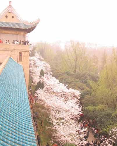 站在樱顶俯瞰樱花大道