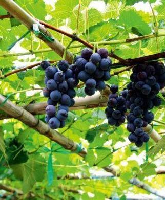 大兴不止西瓜有名,采育镇的葡萄也是一绝。