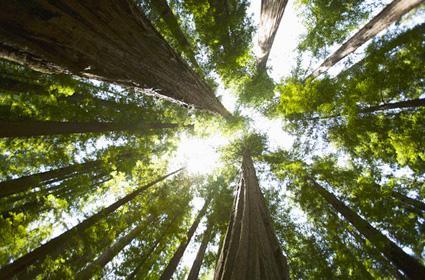 红杉树可以长到300多英尺高,直径20英尺,它在19世纪美国西部拓荒运动