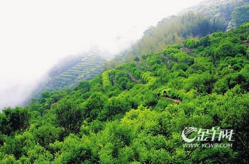 凤凰乌岽山观光茶园