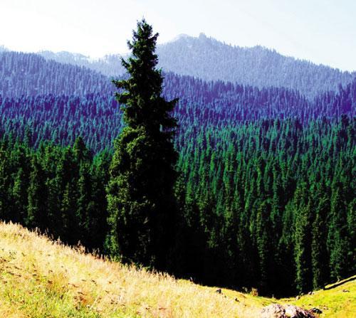 雪岭云杉已有4000万年的生命历史,它们是天山上的活化石