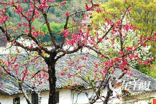 连平上坪镇:农家村舍掩映在桃林中