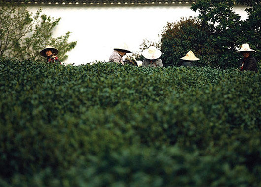 杭州龙井村采茶