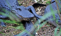 美国 大沼泽国家公园与鳄共舞