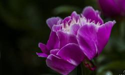 芍药花开沐浴在阳光下的五月花神