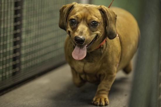 在新泽西州莫里斯敦镇的一家动物客栈,摄影师就拍到一只名叫萝拉(Lola)的达克斯腊狗穿上泳衣被带去游泳的场景。 据美国宠物肥胖预防协会(APOP)统计,美国现有大约3670万只狗是超重的。这些宠物狗像它们的主人一样,过度肥胖可能会给它们带来各种健康问题。为了解决这个令人担忧的问题,专为狗狗打造的瘦身中心层出不穷,旨在帮助胖嘟嘟的狗狗塑造体型,减掉过多的脂肪。