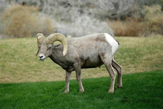 绵羊比赛简笔画