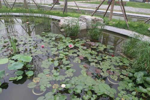 图文-探秘北京奥运村内景 居民区池塘里的荷花荷叶