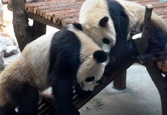 """""""奥运大熊猫""""在南京红山森林动物园玩耍"""