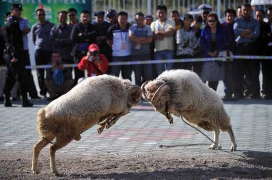 9月15日,激烈的斗羊比赛吸引了不少观众观看。当日,第七届新疆少数民族传统体育运动会在哈密继续举行。在哈密市体育场,来自民间的斗羊、斗狗、斗鸡比赛吸引了大量观众。这些由动物组成的运动员在竞技场上一斗高低。斗羊、斗狗、斗鸡在新疆广袤的农村里深受欢迎,特别是在一些喜庆日、聚会场所,这些活动成为当地群众喜闻乐见的传统体育活动。   新华社记者赵戈摄