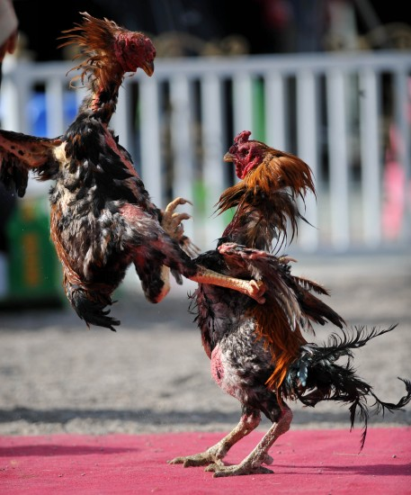 图文-民族体育运动会上动物大战