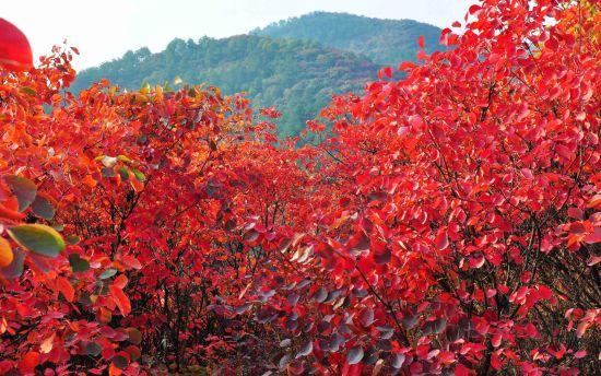 秋天欧洲树叶变黄美洲却变红原因揭秘。