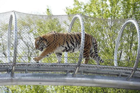 美国动物园1400万元打造天桥供大型动物行走