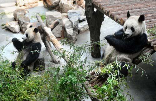 """5月1日,""""奥运大熊猫""""在南京红山森林动物园进食."""